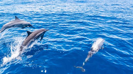 svøm med delfiner maldiverne