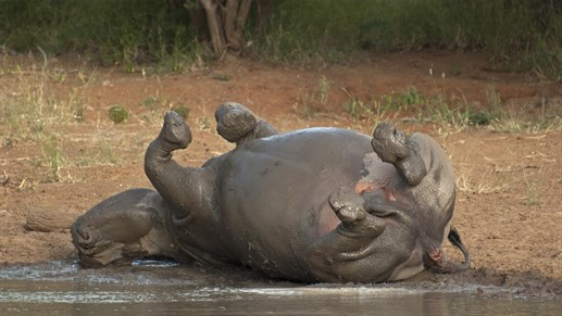 Happy hippo - glad flodhest i Kruger