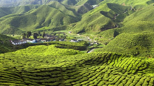 Cameron Highlands Without Text