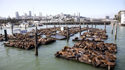 San -francisco -sea -lions -pier -39